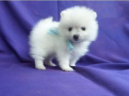 Party colored Pomeranian puppy