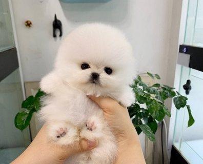 Pure White Boy Pomeranian