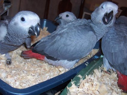 Talking male and females Congo African Grey Parrots