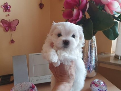 Adorable Maltese puppies for sell