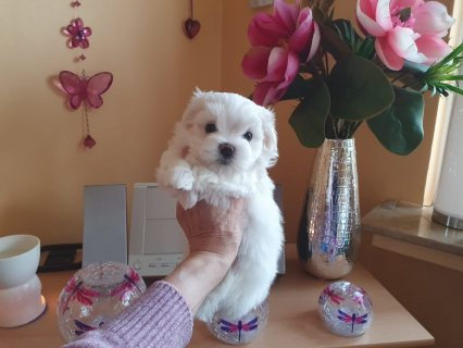 صور Adorable Maltese puppies for sell 2