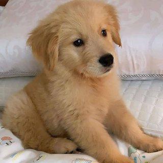 Adorable puppy for adoptionl Labrador retriever