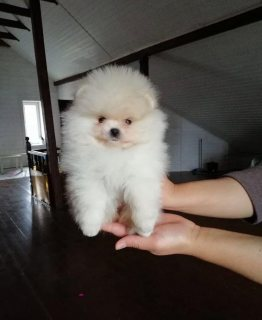 Cute Pomeranian puppies available for adoption