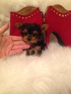 Well Trained Yorkie Puppies