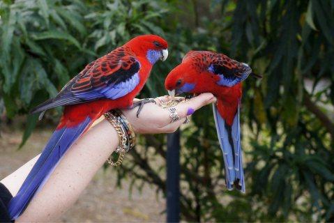 روزيلا الببغاوات الأطفال زوج ألوان جميلة للبيع