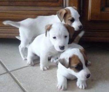 كلاب جاك راسل الرائعة متاحة للبيع على الواتس اب +13233645209