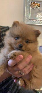 جرو كلب صغير طويل الشعر رائعتين للبيع.