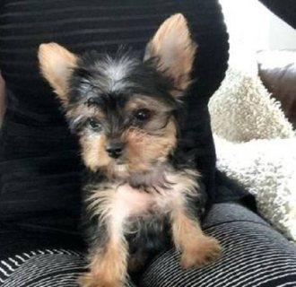 adorable male and female yorkie puppies
