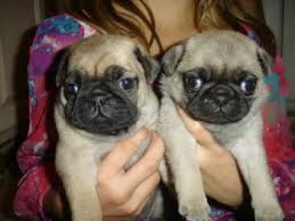 Magnifficient Pug Puppies For Adoption