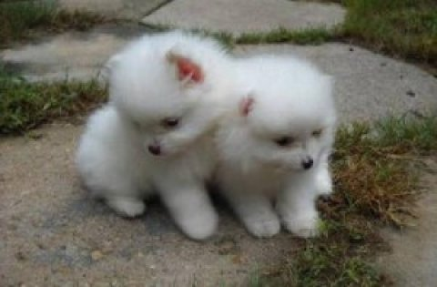 Charming Pomeranian Puppies for Adoption