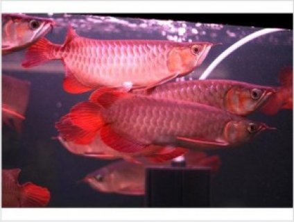 Asain Arowana, Koi fish and many others for sale
