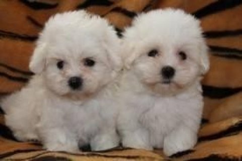 Affectionate Maltese Puppies Available