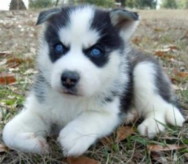 Gorgeous Blue Eyed Female Siberian Husky Puppy