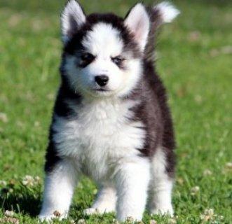 Magnificent Husky Puppies