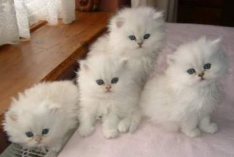 Cute Asian Kittens for Sale