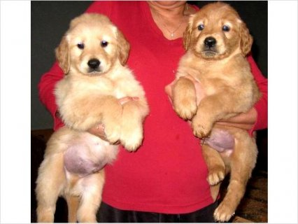 Specially Raised Golden Retriever Pups, are ready for new homes