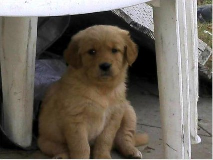 Beautiful Golden Retriever Puppies For Good Homes.