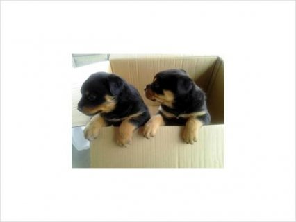 Rottweiler puppies contact