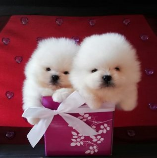 Male and female teacup Pomeranian.