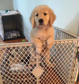 كلب جولدن ريتريفر للبيع واتس اب +971551749427