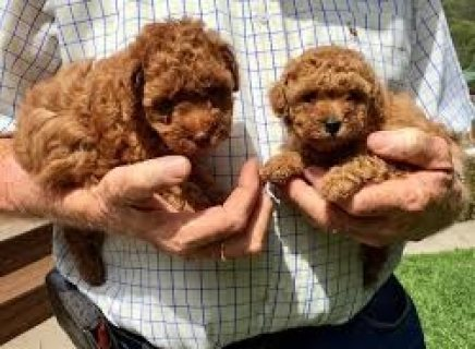 Beautiful teacup Poodle puppies