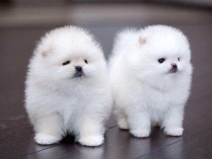 White teacup Pomeranian puppies.