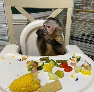 قرود Capuchin اللطيفة لـ Rehoming الآن