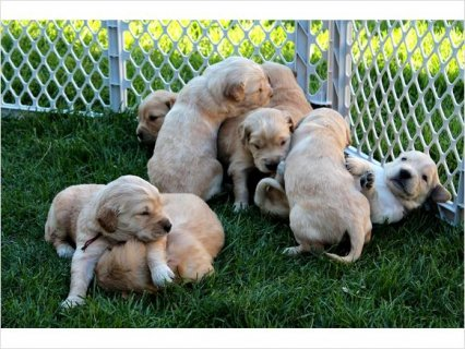 Super Cute and Cuddly Golden Retriever Puppies