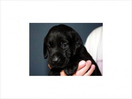Akc black lab puppy