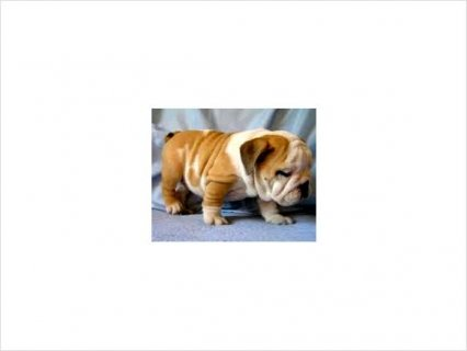 صور 11 Weeks old Register Female and Male English Bulldog 1
