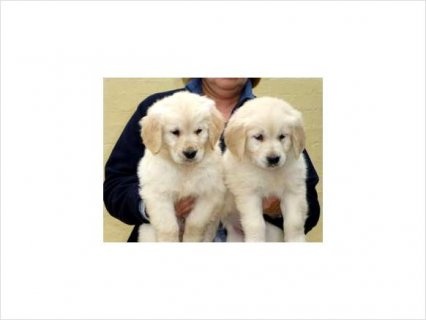 Kc registered golden retriever puppies..