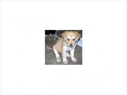 Labrador Mix Puppies