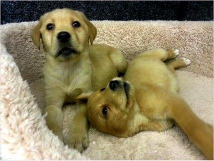 Stunning pedigree Labrador puppies