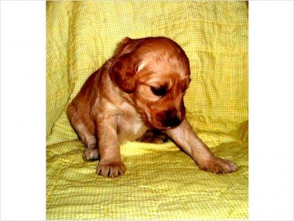 Ckc Goldendoodle Puppies!