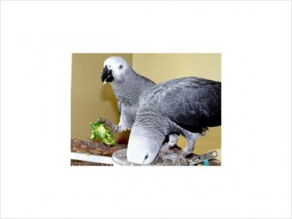 African grey parrot, eggs and weaned babies