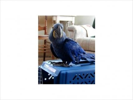 Inteligent Umbrella cockatoo and Hyacinth macaw parrots for sale
