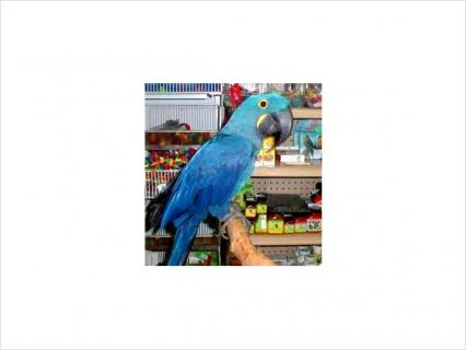 Talking Blue and Gold Macaws for free adoption