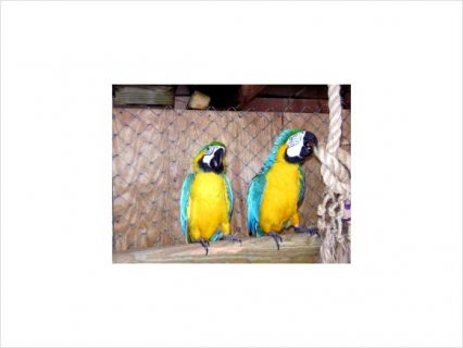 Male AND FEMALE BLUE & GOLD MACAW FOR ADOPTION