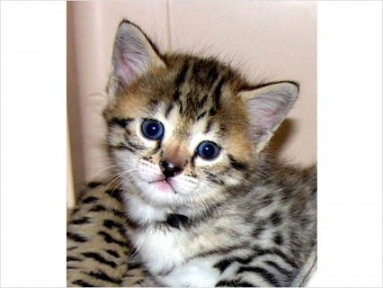 Adorable F1 Registered Male And Female Savannah Kitten For Rehom