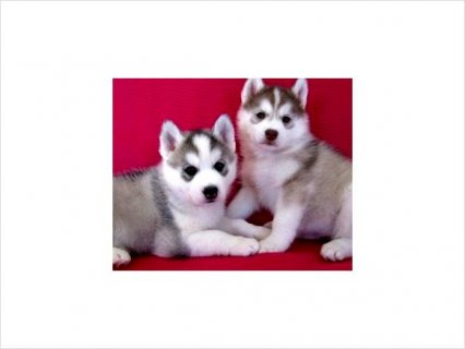 Extra Charming Lovely Male And Golden Siberian Husky Puppies For