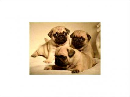 Pug Puppies Given Out Now For Adoption.