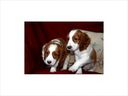 Welsh Springer Spaniel puppies for home adoption