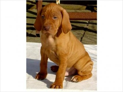 Vizsla puppies for sale to any loving and parental home
