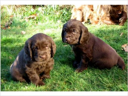 Sussex Spaniel puppies for friendly families