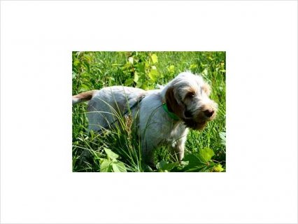 Spinone Italiano puppies for home adoption