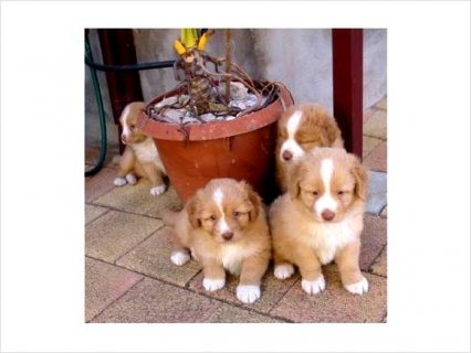 Nova Scotia Duck Tolling Retriever puppies for sale
