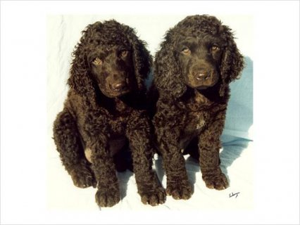 Irish Water Spaniel puppies for adoption