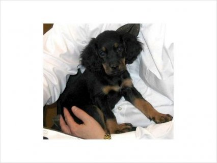 صور Gordon Setter puppies for home Adoption 1