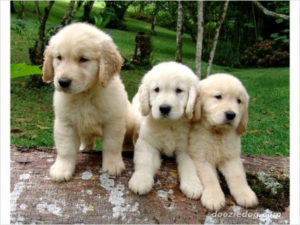 Golden Retriever puppies need love and attention