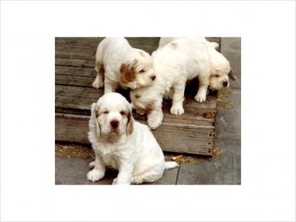 Clumber Spaniel puppies for sale